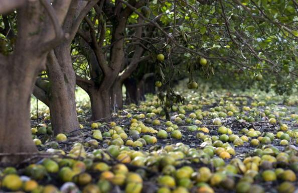 Orange - Fruit「Hurricane Wilma Damages Florida Agriculture」:写真・画像(6)[壁紙.com]