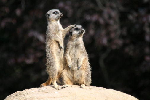 Love - Emotion「Slender Tailed Meerkats」:スマホ壁紙(1)