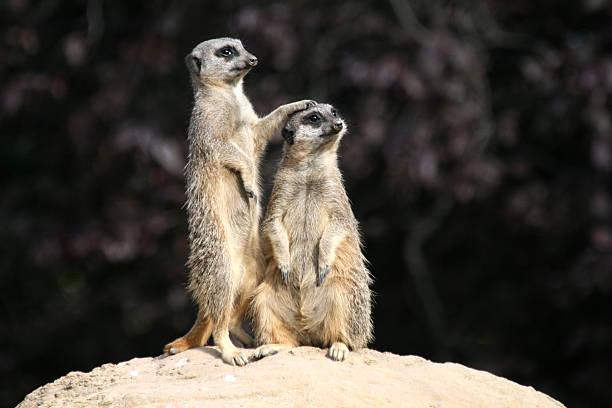 Slender Tailed Meerkats:スマホ壁紙(壁紙.com)