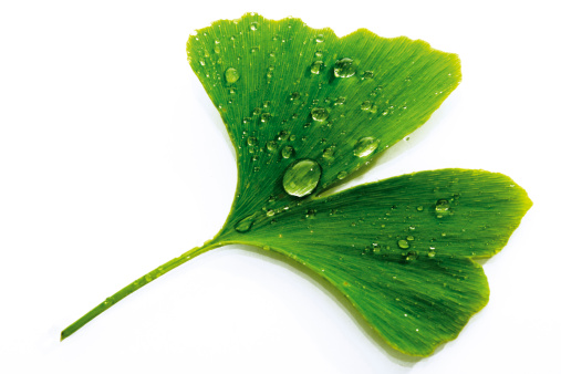 イチョウ「Ginko leaf with water drops, close-up」:スマホ壁紙(11)