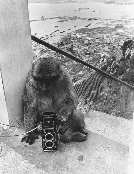Primate「The Apes Of Gibraltar」:写真・画像(3)[壁紙.com]