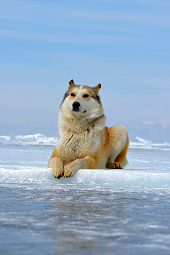 一匹「Russia, Lake Baikal, Siberian Husky lying on frozen lake」:スマホ壁紙(18)