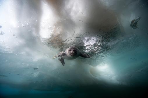 Aquatic Mammal「Russia, Lake Baikal, Baikal seal under water」:スマホ壁紙(18)