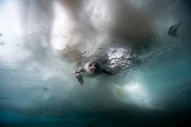 Russia, Lake Baikal, Baikal seal under water:スマホ壁紙(壁紙.com)