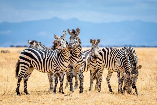 Tanzania「Zebras in Tarangire National Park / Tanzania」:スマホ壁紙(14)