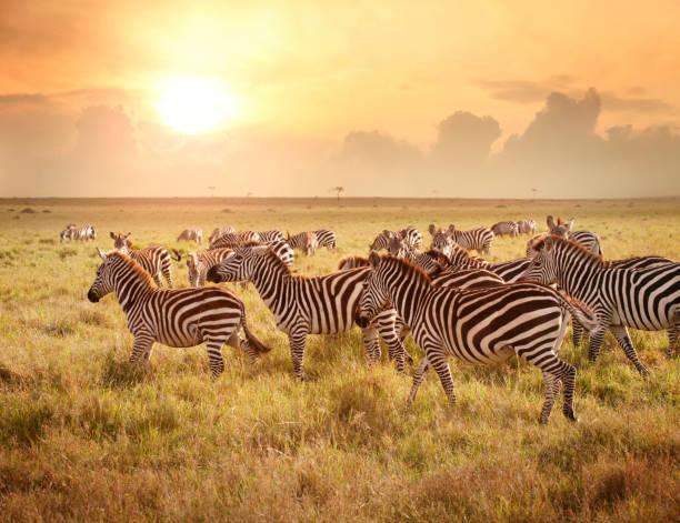 Zebras in the morning:スマホ壁紙(壁紙.com)