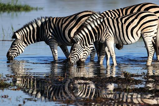 Eco Tourism「Zebras In The Wild」:スマホ壁紙(13)