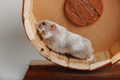 Drudgery「Campbell's Dwarf Hamster running in hamster wheel」:スマホ壁紙(14)