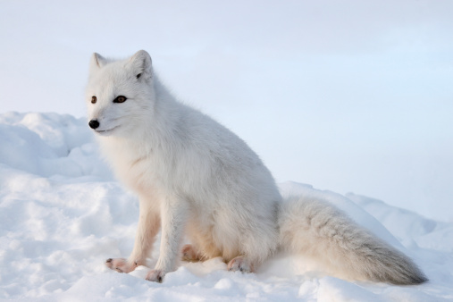Snowdrift「Polar fox. Winter.」:スマホ壁紙(3)