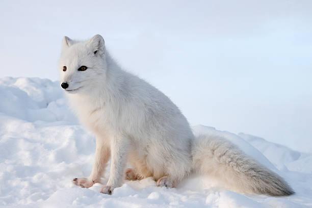 Polar fox. Winter.:スマホ壁紙(壁紙.com)