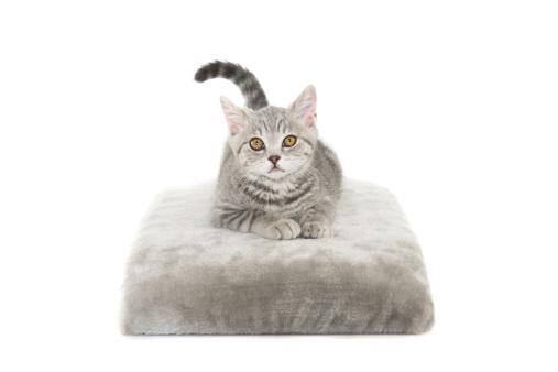 ショートヘア種の猫「グレイの猫」:スマホ壁紙(18)