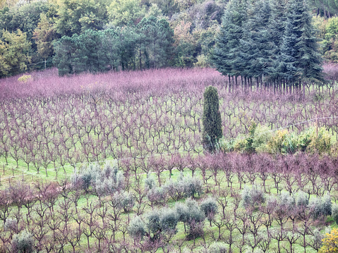 Almonds「Almond Grove in Autumn Season, Montepulciano, Tuscany, Italy」:スマホ壁紙(14)