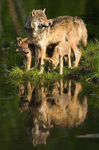 Animals Hunting「Gray wolf mother and pups standing lakeside.」:スマホ壁紙(16)