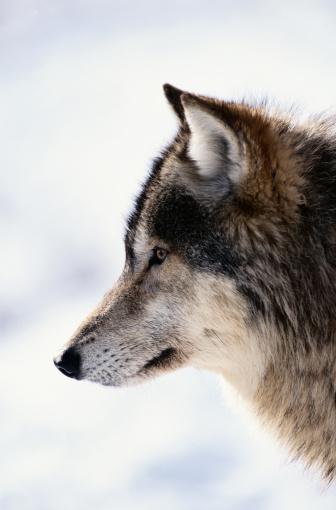 Headshot「Gray wolf (Canis lupus) Montana, USA, winter」:スマホ壁紙(6)