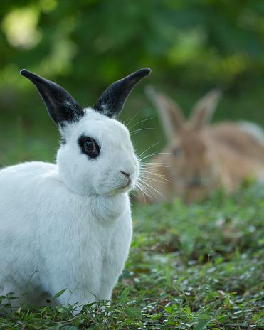 うさぎ「Rex Rabbit (Oryctolagus cuniculus) standing in field with another one in background」:スマホ壁紙(19)