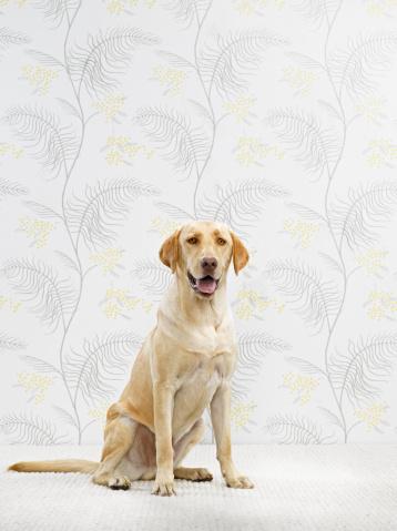 Carefree「Golden Lab (Canis lupis familiaris) sitting」:スマホ壁紙(17)