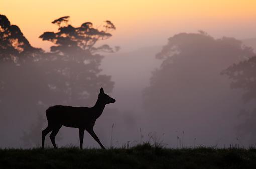 Doe「Red Deer hind at sunrise in British contryside,Somerset,UK」:スマホ壁紙(8)