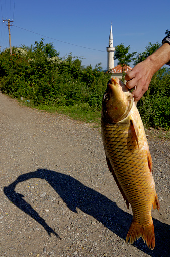 Carp「Carp catch from lake Shkodra, Albania」:スマホ壁紙(9)
