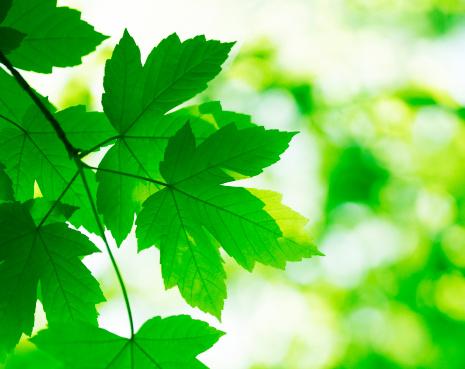 セイヨウカジカエデ「緑の葉」:スマホ壁紙(1)