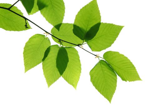 Birch Tree「Green leaves」:スマホ壁紙(15)