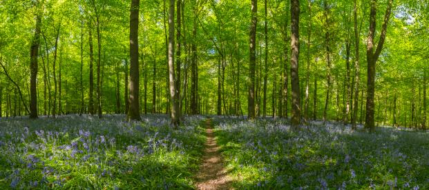 落葉樹「「アース amp \;;トレイルからのどかなブルーベルウッズグリーン夏の森林のパノラマに広がる眺め」:スマホ壁紙(8)