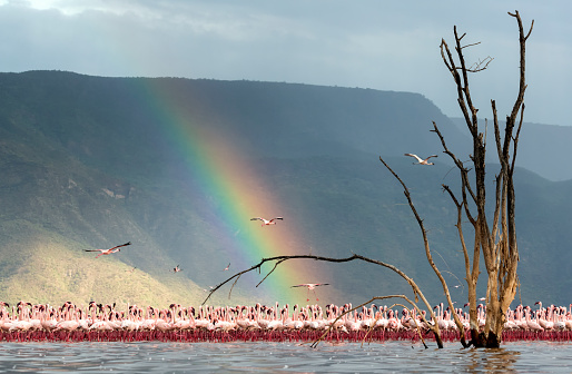 Lake Bogoria「Eye-level, wide-angle view of Lesser Flamingo group with partially submerged dead tree in the foreground and rainbow in the background」:スマホ壁紙(14)