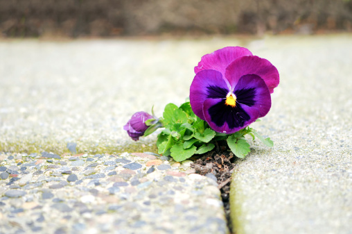 Endurance「Purple Flower Growing in Crack of Cement」:スマホ壁紙(3)