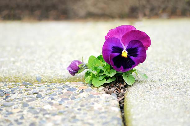 Purple Flower Growing in Crack of Cement:スマホ壁紙(壁紙.com)