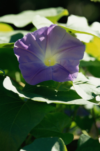朝顔「Purple flower of morning glory」:スマホ壁紙(7)