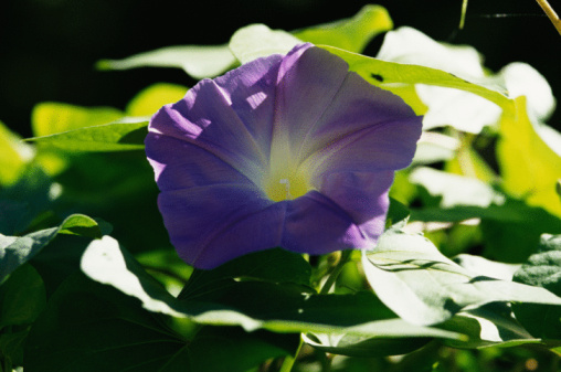 朝顔「Purple flower of morning glory」:スマホ壁紙(6)