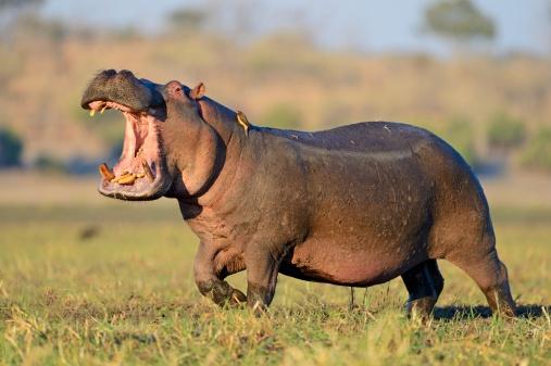 Hippopotamus「Wildlife of Chobe Natiobal Park」:スマホ壁紙(3)