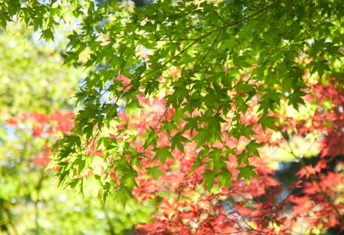 Japanese Maple「Japanese trees and leaves.」:スマホ壁紙(16)