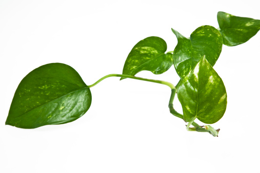 Floral Pattern「Creeper Plant with White Background. Color Image」:スマホ壁紙(6)