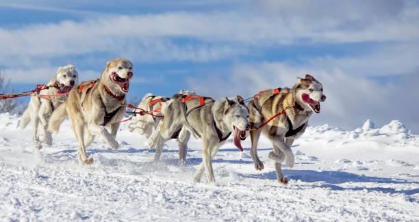 Group of sled dogs (Siberian Huskies) running in snow:スマホ壁紙(壁紙.com)