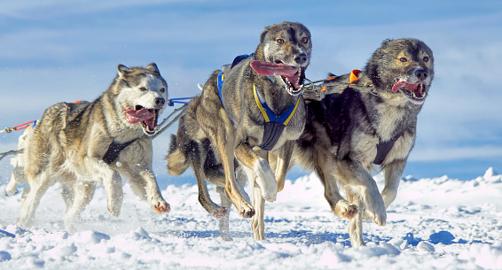 Dogsledding「Group of sled dogs (Siberian Huskies) running in snow」:スマホ壁紙(8)