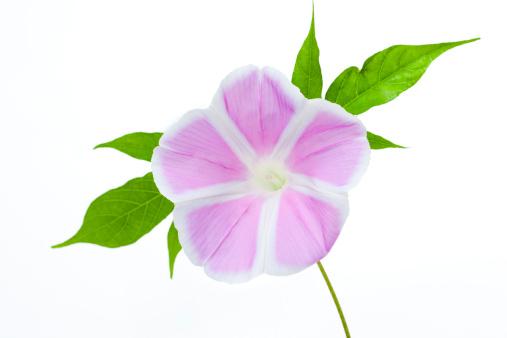 朝顔「Pink Morning Glory」:スマホ壁紙(1)