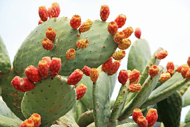 Cactus fruits, prickly pears:スマホ壁紙(壁紙.com)