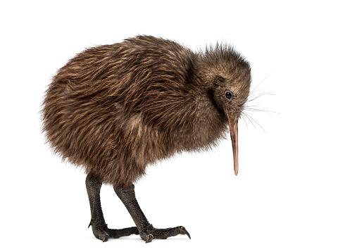 Beak「North Island Brown Kiwi, Apteryx mantelli」:スマホ壁紙(2)