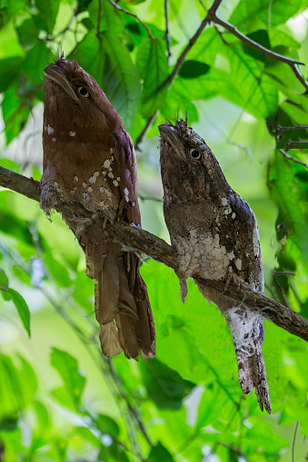 Dethan Punalur「A pair of Sri Lankan frogmouth」:スマホ壁紙(4)