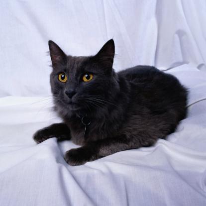 Mixed-Breed Cat「Cat Portrait」:スマホ壁紙(17)
