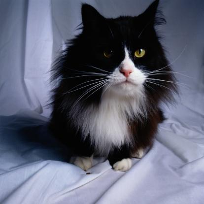 Mixed-Breed Cat「Cat Portrait」:スマホ壁紙(6)