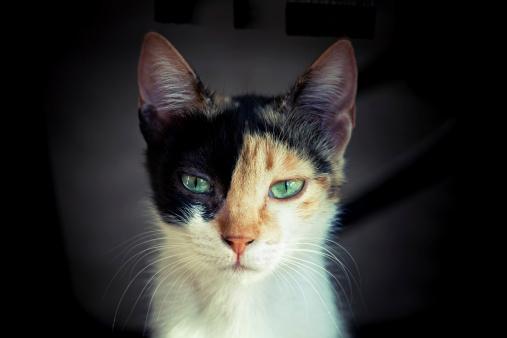 Mixed-Breed Cat「Cat portrait」:スマホ壁紙(8)