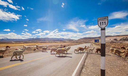 Alpaca「Alpaca's crossing road in southern Peru」:スマホ壁紙(17)