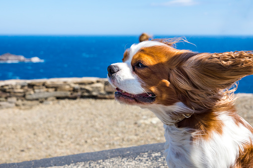 Animal Ear「Spain, Catalonia, Costa Brava, Cap de Creus, Cadaques, Cavalier King Charles Spaniel in wind」:スマホ壁紙(0)