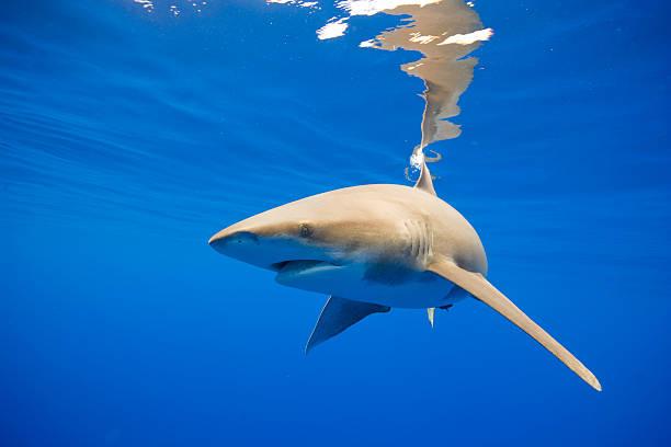 Oceanic Whitetip Shark, Hawaii:スマホ壁紙(壁紙.com)