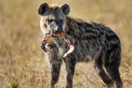 Eating「Hyena, Moremi Game Reserve, Botswana」:スマホ壁紙(18)