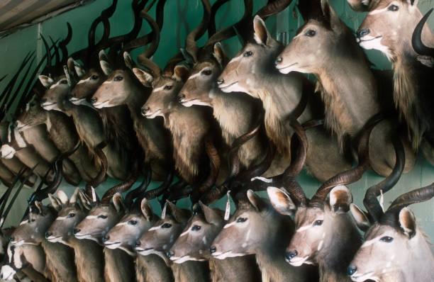 Kudu Heads Mounted in Taxidermy Shop:スマホ壁紙(壁紙.com)