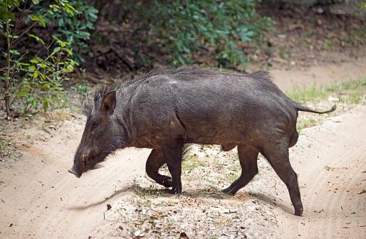 猪「A Wild Boar crossing the trail」:スマホ壁紙(0)