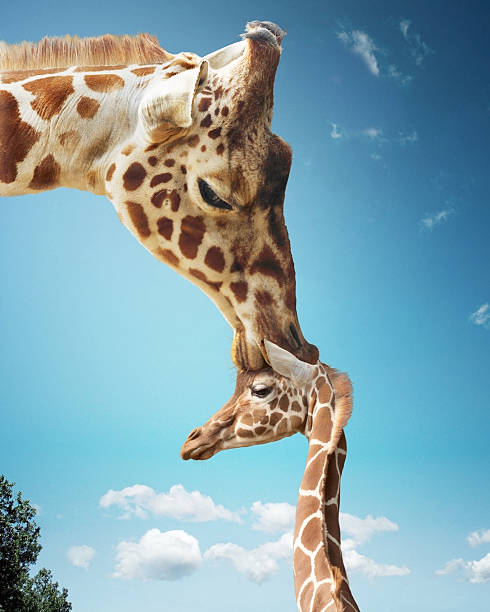 Mother giraffe nuzzling calf's head (Digital Enhancement):スマホ壁紙(壁紙.com)