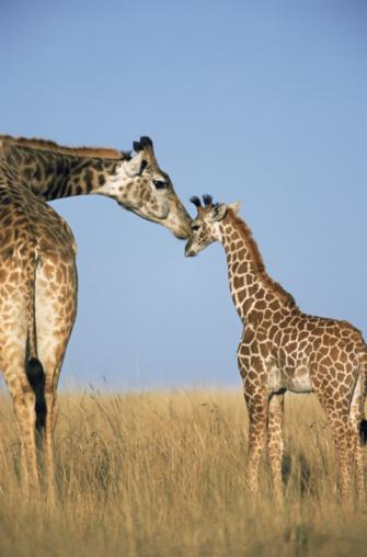 Giraffe「Mother giraffe nuzzling calf (Giraffe camelopardalis)」:スマホ壁紙(19)